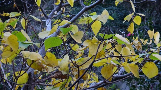 黄色い黄葉