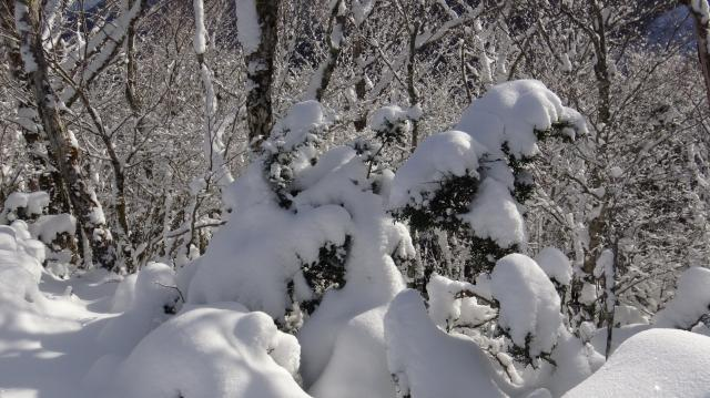小低木には厚い雪帽子
