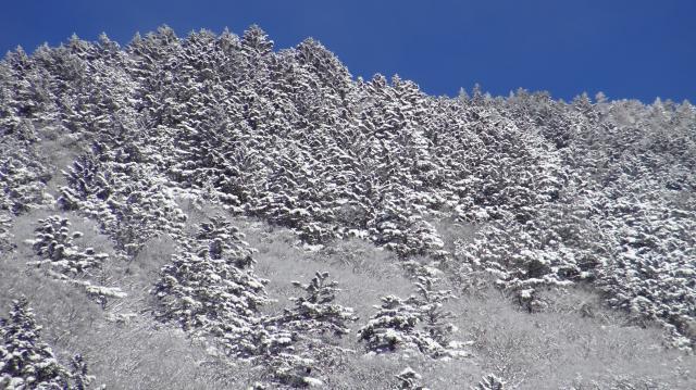 ウラジロモミ林も雪化粧