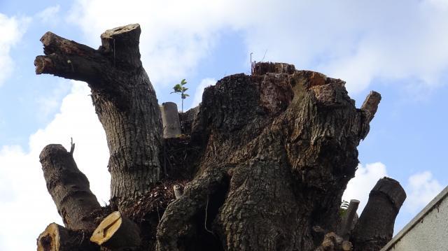 胴体だけになった巨樹