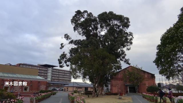 公園のまん中にユーカリの巨樹