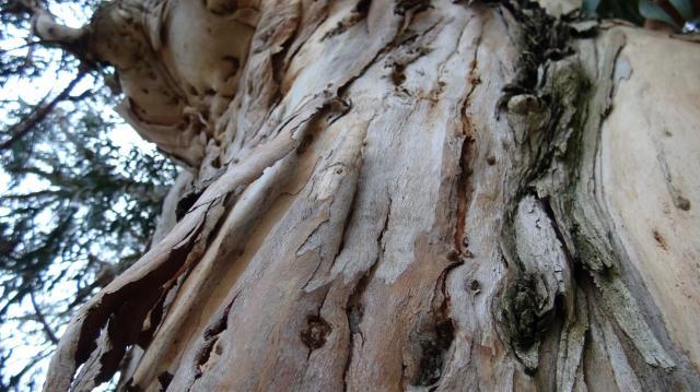 樹皮が縦に剥がれる