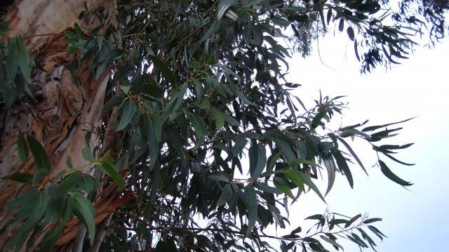 葉は、マンゴーの葉に似ている