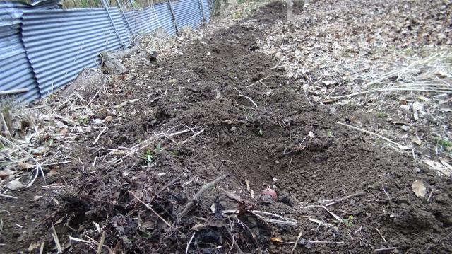 ジャガイモの種芋植え付け