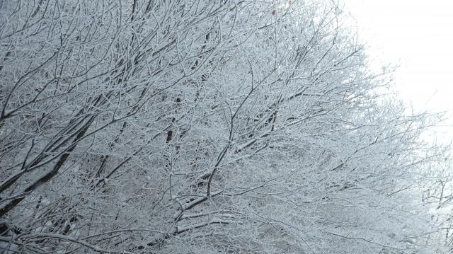 樹々に霧氷の花が咲く