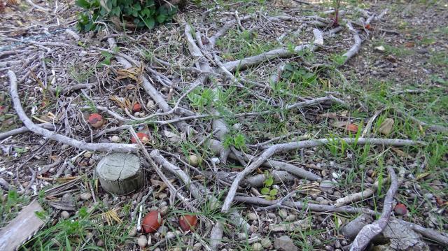 地面に残る匍匐茎の残骸