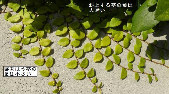 地面や岩・塀をはうときは、葉が小さくなる