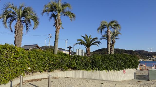 海側にトベラの生垣がある