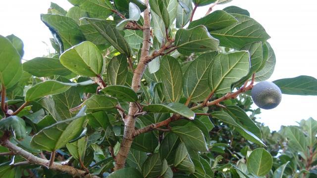 葉の裏面では、葉脈は明瞭に盛り上がっている