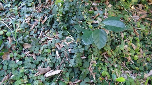 匍匐茎の小さな葉と、斜上する茎の大きな葉