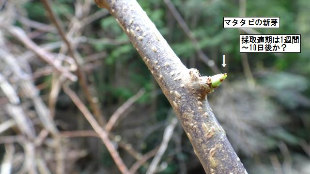 マタタビの芽はまだ小さい