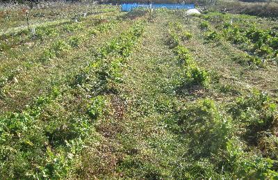 2月の大根畑 (1)