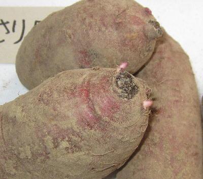 種サツマイモ保管 (4)