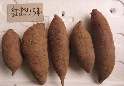 種サツマイモ保管 (3)