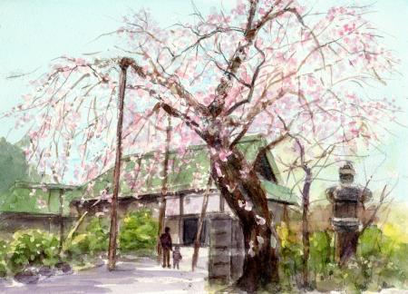 WEB喜多院のしだれ桜