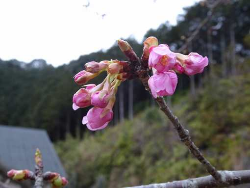 20160219 河津桜②