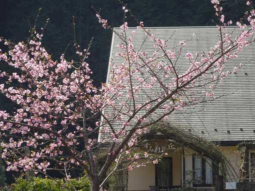 20160307 河津桜