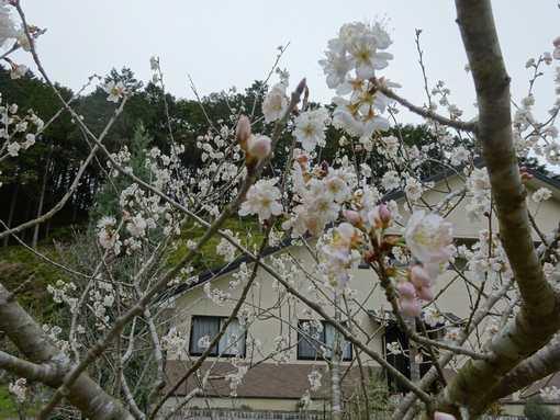 20160310 さくらんぼの花