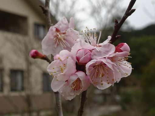 20160310 杏の花