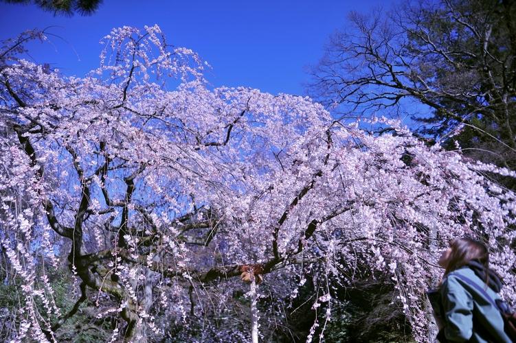 花見/糸桜