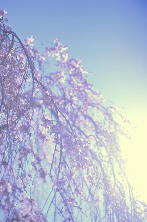 陽光/枝垂桜