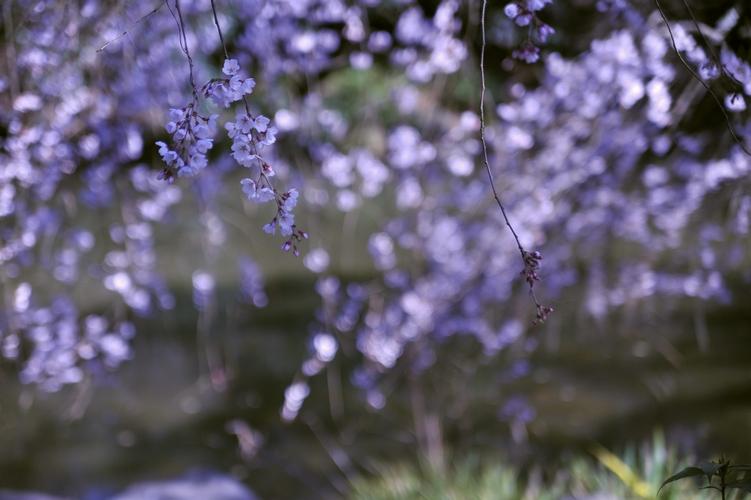 池畔/糸桜