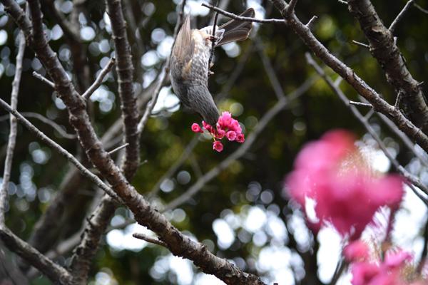 ヒヨドリと寒桜2
