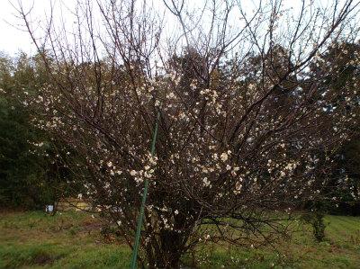 2.20梅の花1