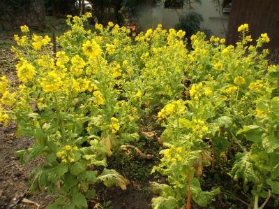 2.27菜の花