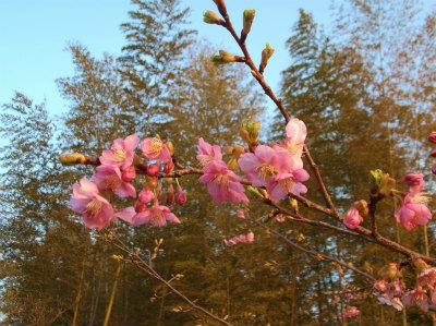 3.5河津桜