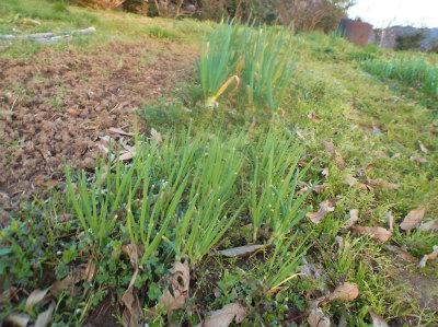 3.15草に埋もれるネギと分葱