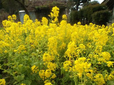 3.19菜の花満開