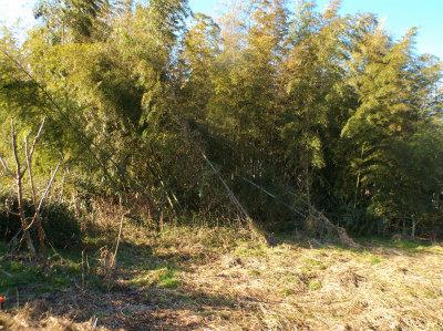 2.11荒れる竹薮