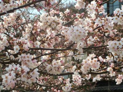 3.29桜開花