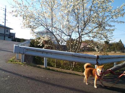 4.2マルと散歩