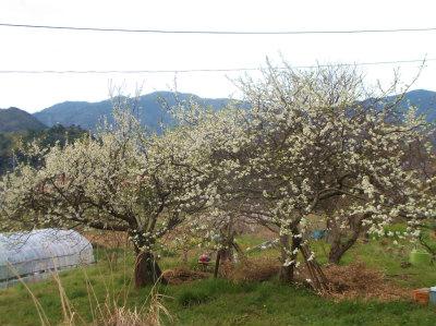 4.2杏子も花が、、