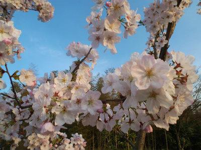 4.2桜満開
