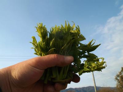 4.2タラの芽採ったでー