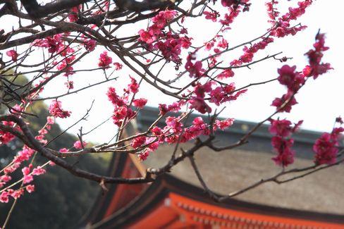下鴨神社・楼門内の梅_H28.03.03撮影