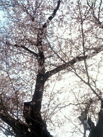 asa_sakura_160401.jpg