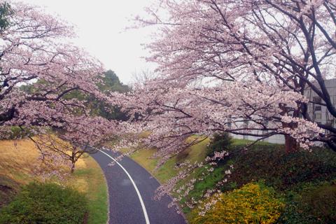 sakura_mankai_16.jpg