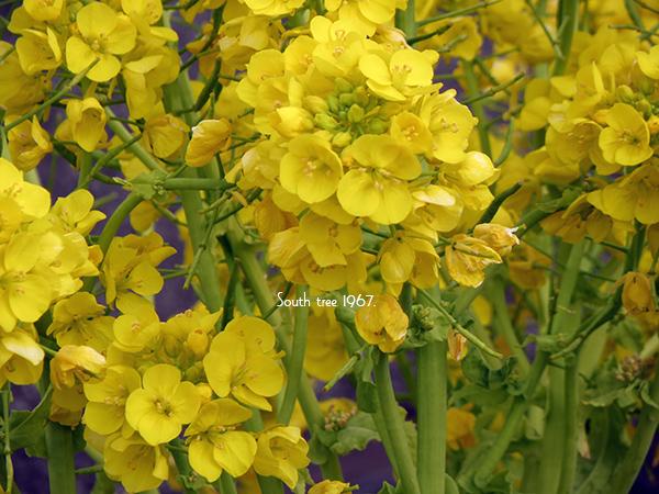 20160222菜の花ブログ用