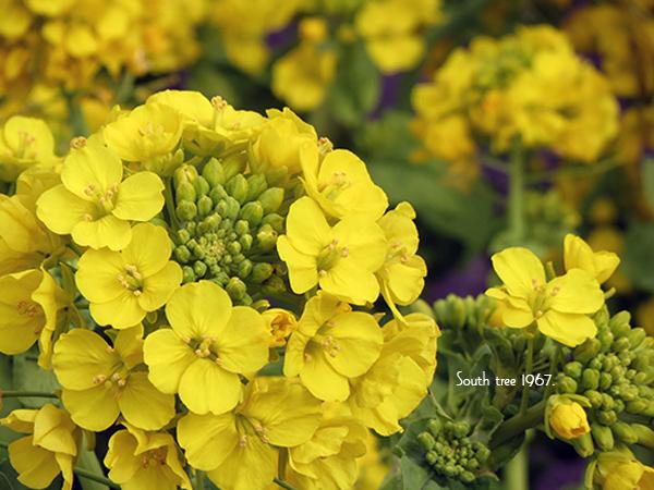 20160222菜の花ブログ用2
