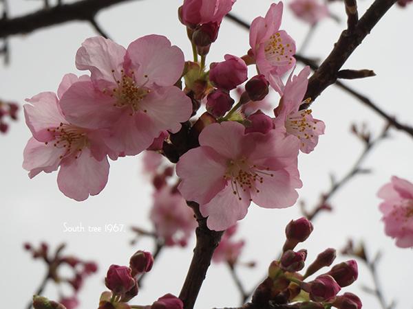 20160222桜ブログ用