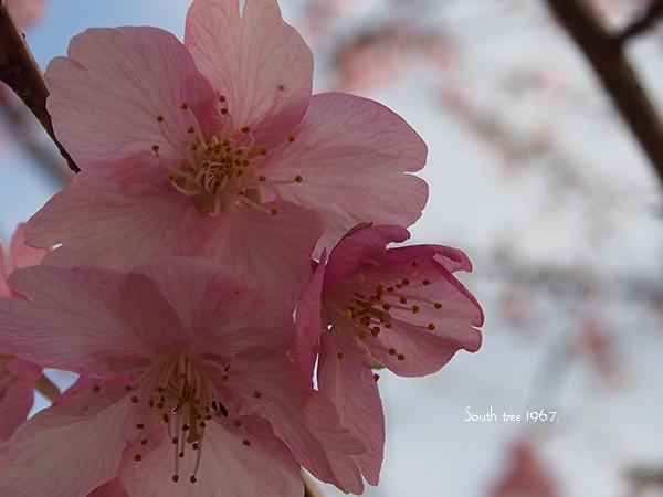 20160225桜ブログ用1