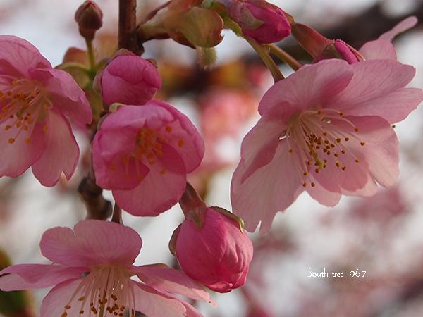20160225桜ブログ用2