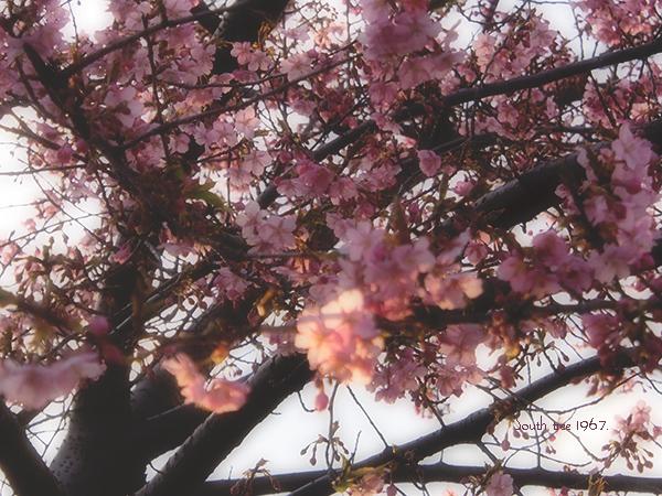 20160225桜ブログ用3