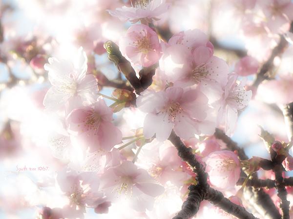 20160227桜ブログ用2