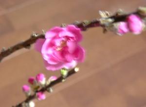 桃の花 013