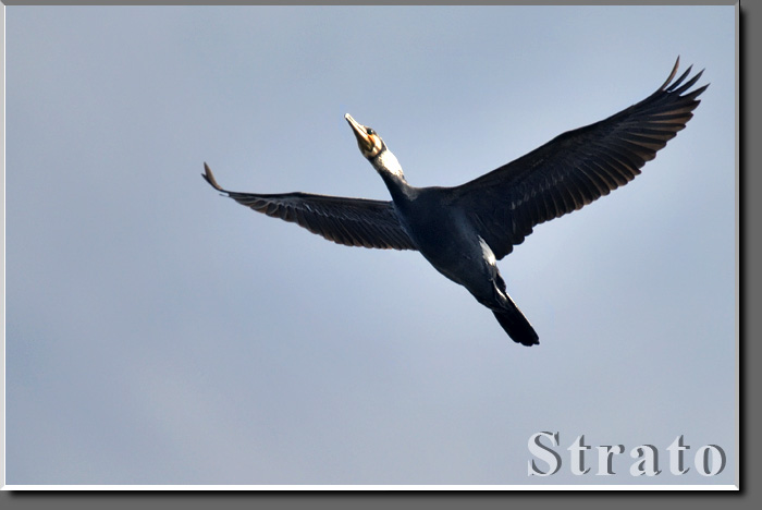 Phalacrocorax.jpg